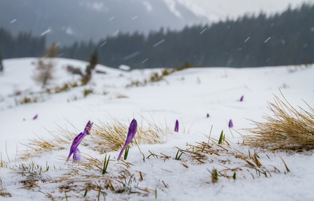 Buds iris break out from under the snow, against the backdrop of the forest and mountains.