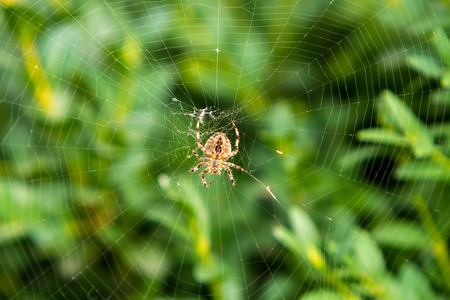 orange spider on a web against a green bush