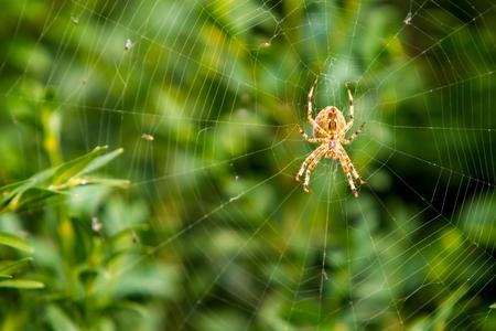orange spider on a web against a green bush