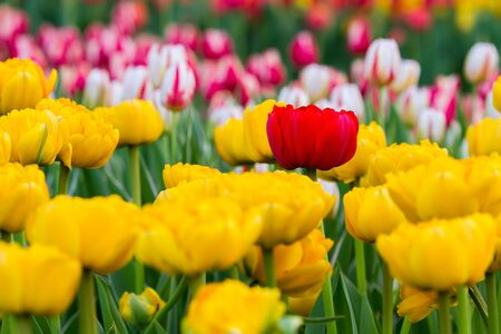 one red tulip among yellow tulips, in the background are many colorful tulips Archivio Fotografico - 137434459