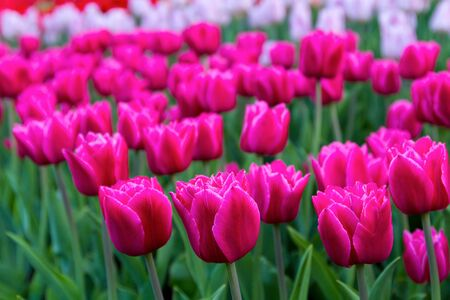 in the foreground are large pink tulips, in the foreground, white and red tulips are out of focus Archivio Fotografico - 137447057