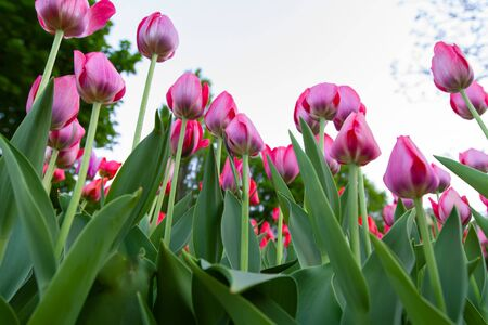 a lawn with light pink tulips in the foreground, and red tulips in the background, bottom view. 스톡 콘텐츠