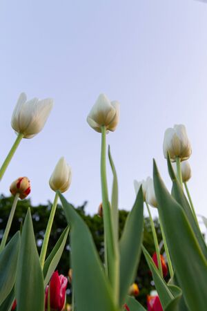 flowerbed with white tulips in the foreground and with red tulips in the background, bottom view.
