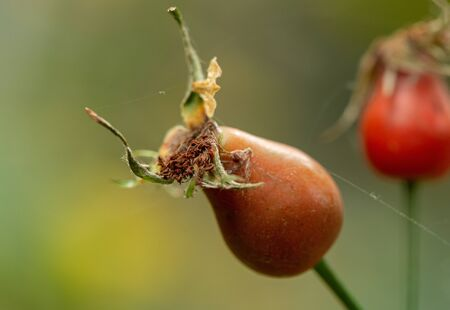 Extreme closeup of a rosehip berry in a web, in the background a red berry is out of focus.