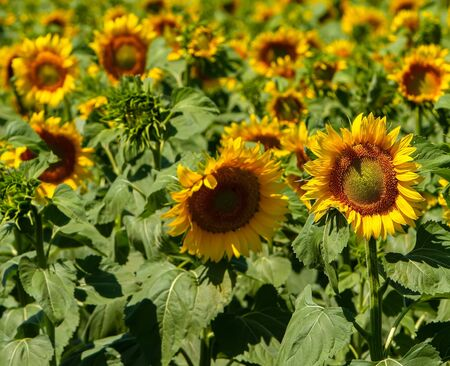 field of large ripening sunflowers 스톡 콘텐츠