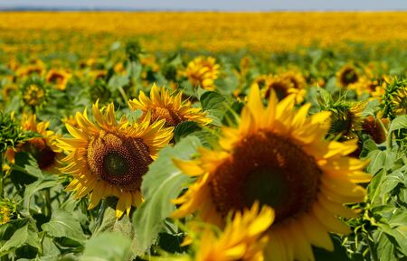 field of large ripening sunflowers, in the foreground the sunflower is out of focus, in the background is the sky horizon.