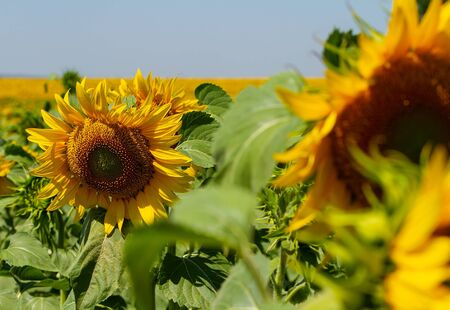 field of large ripening sunflowers, in the foreground the sunflower is out of focus, in the background is the sky horizon. close-up,