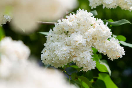 white lilac bush, close-up of flowers on a branch