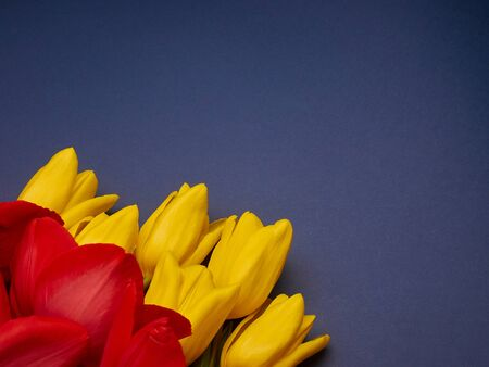 Red and yellow spring flowers tulips on blue purple background, womens day copy space Banco de Imagens