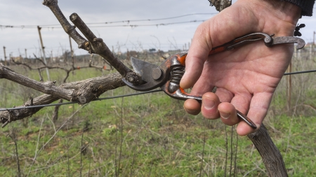 cutting branches in vineyard in spring Stock Photo
