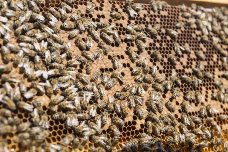 abejas panal: Marco con cera de abeja nido de abeja y miel Foto de archivo