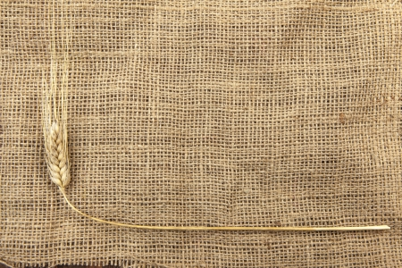 dry wheat on a burlap photo