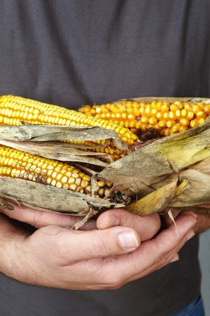 man s: man s hands holding dry corn