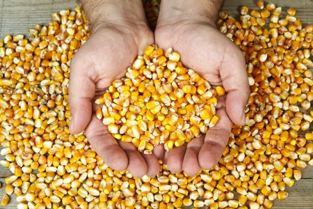 man s hands holding dry corn