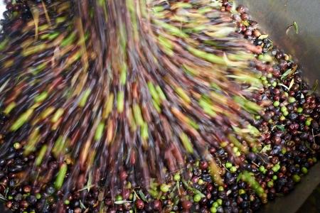 olijven worden verwerkt in de molen om de olie te krijgen