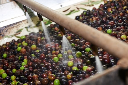 olives are processed at the mill to get the oil