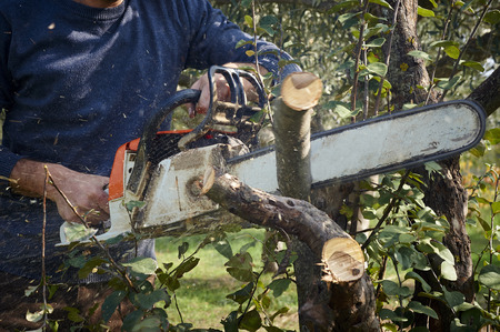 man without the necessary protection cuts tree with chainsaw photo
