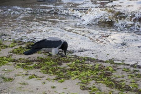 Beautiful crow on the sandy shore of the sea Standard-Bild