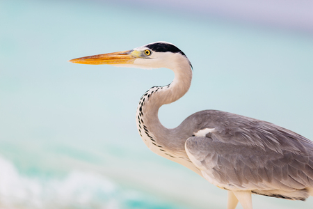 gray herons: White-grey heron close-up portrait Stock Photo