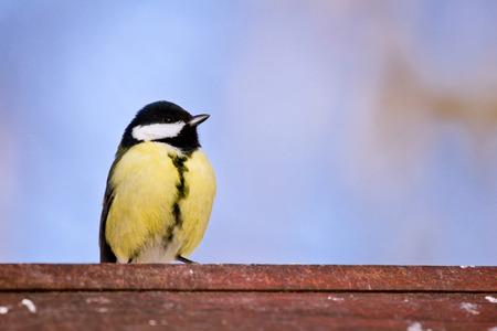 brave: Brave titmouse sits on a birdhouse Stock Photo