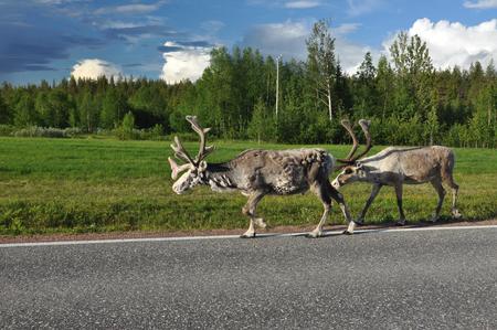 nord: reindeers on the island Senja, nord Norway