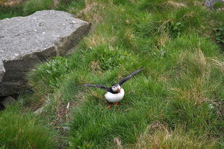 puffin: Puffin Puffins are any of three small species of alcids in the bird genus Fratercula with a brightly coloured beak during the breeding season.