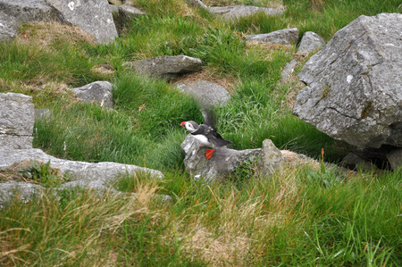 puffins: Puffin Puffins are any of three small species of alcids in the bird genus Fratercula with a brightly coloured beak during the breeding season.