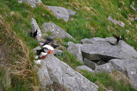 skomer: Puffin Puffins are any of three small species of alcids in the bird genus Fratercula with a brightly coloured beak during the breeding season.