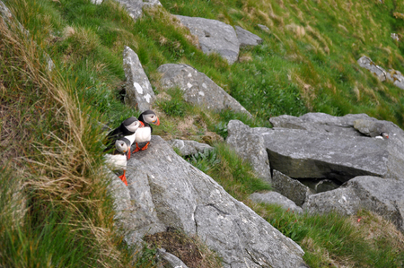 Puffin Puffins are any of three small species of alcids in the bird genus Fratercula with a brightly coloured beak during the breeding season.