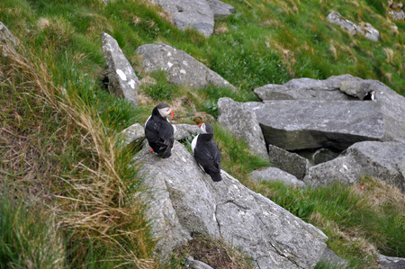 fratercula: Puffin Puffins are any of three small species of alcids in the bird genus Fratercula with a brightly coloured beak during the breeding season.