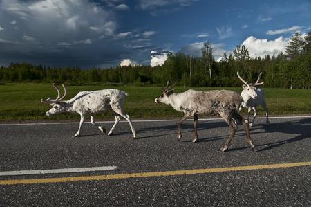 Reindeers in Norway. Reindeers on the island Senja, nord Norway