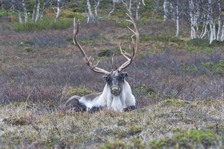 Scandinavian Reindeer. The Finnish forest reindeer is found in the wild in only two areas of the Scandinavian peninsula of Northern Europe.