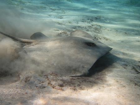 indopacific: Darkspotted stingray (Himantura uarnak) hunting on the sandy bottom of the sea