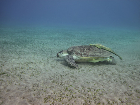 chelonia: Green sea turtle swimming over the sandy sea bottom
