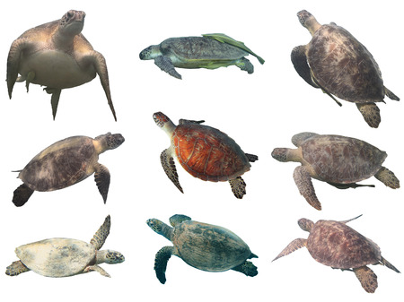 chelonia: Sea turtle collection (green and hawksbill) isolated on white background