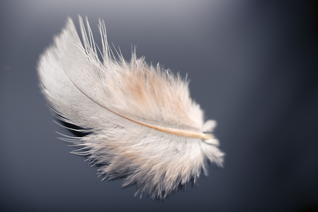 White dove feather