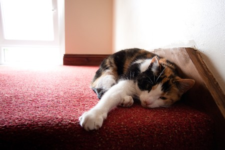Little cat lying inside a house on red carpet.