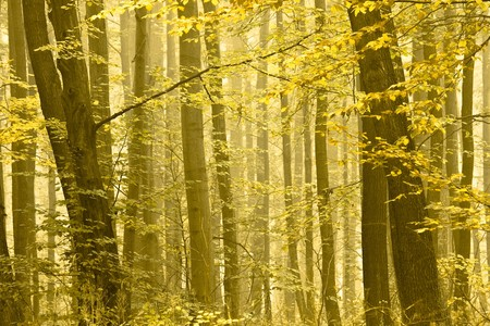 Detail of a forest in autumn. Trees is disappearing in the fog. Stock Photo - 7799545