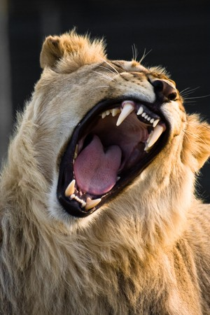 Lion is yawning in Kwantu Game Reserve, South African Republic. Banco de Imagens