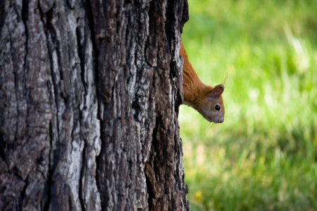 curiously: Brown squirrel is curiously looking at the ground. Stock Photo