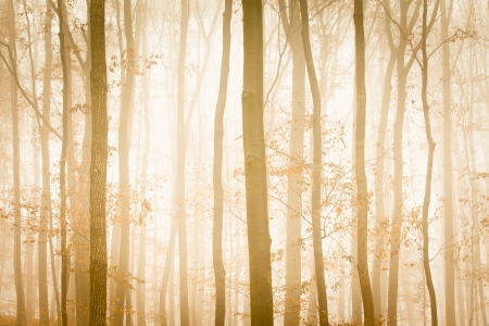 Fog with yellow sunlight covers trees in forest photo