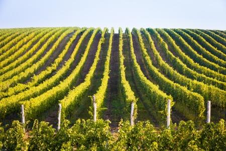 Horizontal shot of central european vineyard, long lines
