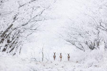Friedliche Szene, drei Kitze, die in einer gefrorenen Baumallee in der Nähe von Hustopece, Mähren, Tschechien, weggehen? Standard-Bild