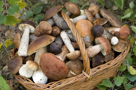 full basket of fresh autumn mushrooms (Boletus scaber, aurantiacus, edulis).  Stock Photo - 3585849