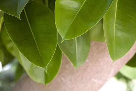 Gr�ne Bl�tter und Stamm ficus elastica robusta