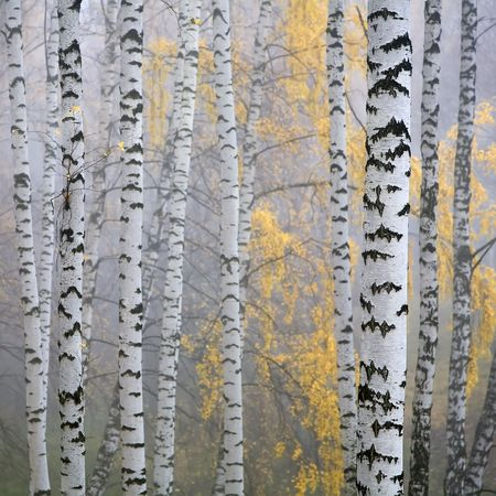 a birch grove in the haze fragment trunks. photo