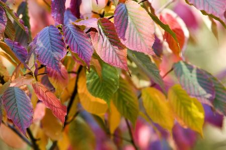 multicolored autumn leaves: yellow, blue, green and red photo