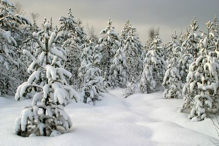 magical winter woods covered with fresh snow photo