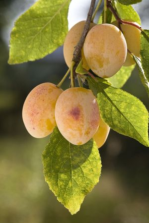 Group of yellow ripe plums on branch. photo