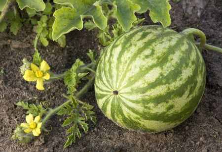 watermelon growing in the field, with leaves and flowers.